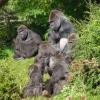 Apenheul – Gorillas.