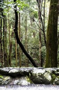 Trees at Ise Jingu