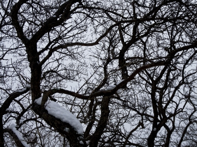 Huangshan; trees in winter